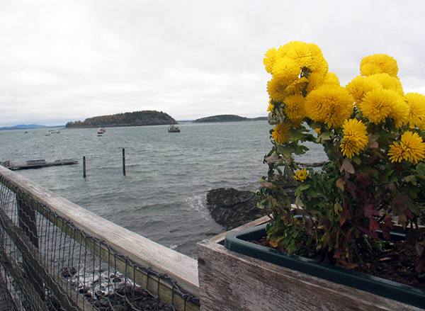 A box of mums grows at the foot of the Bar Harbor Inn pier on this cold, blustery day. (Click any image in this blog entry for larger version in new window.)