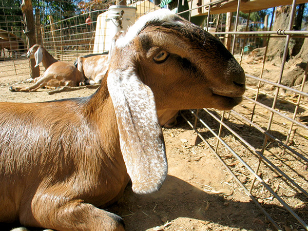 Nubian goats are friendly, but they'll try to eat your pants. (Click for larger version in new window.)