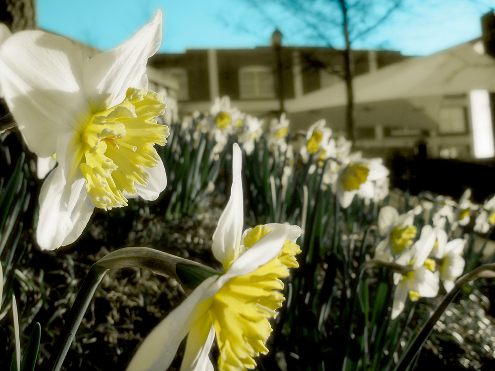 Daffodils blooming in Falls Park this morning. (Click image for larger version.)