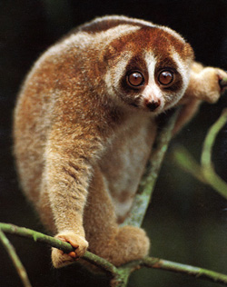 This slow loris is the closest thing I can think of to what I dreamed about. Same face, but much, much smaller. And bigger ears.