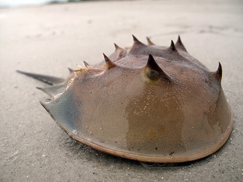 Dead horseshoe crabs everywhere. What are they doing wrong?