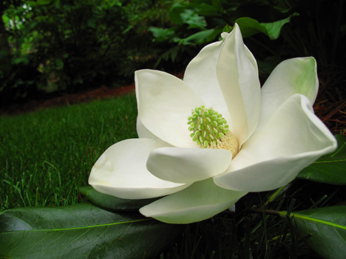 Magnolias are the best. The absolute best. (Click to up-rez.)