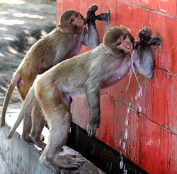 Wild monkeys drink water from public taps in Jammu, India. Do they turn the taps off when they're finished drinking? If they're bicycle-riding monkeys, probably not.