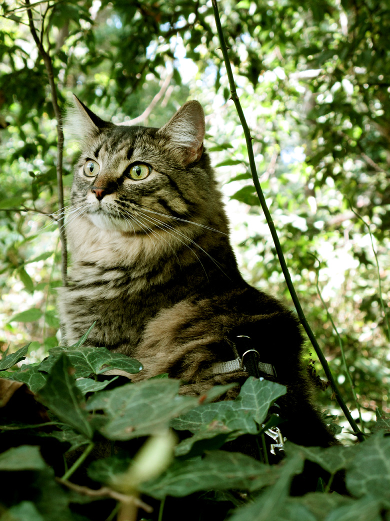 Acadia, the magical Maine Coon